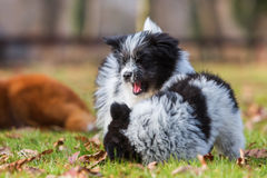Two Elo puppy siblings scuffle on the grass Royalty Free Stock Image