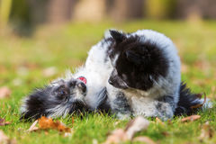 Two Elo puppy siblings scuffle on the grass Royalty Free Stock Images