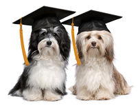 Two eminent graduation havanese dogs wit cap. A pair of proud graduation havanese dogs with cap isolated on white background royalty free stock photo