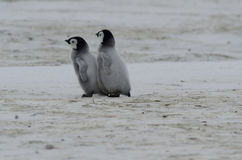 Two Emperor Penguin Chicks. Emperor Penguin chicks (Aptenodytes forsteri) walking on the ice Royalty Free Stock Photography