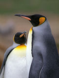 Two emperor penguins Stock Image