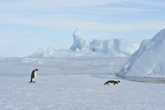 Two Emperor Penguins on the snow Stock Photos