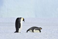 Two Emperor Penguins on the snow Royalty Free Stock Image
