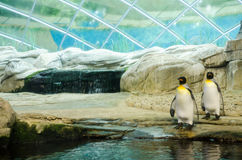 Two emperor penguins at a zoo, preparing to go in the water Royalty Free Stock Photos