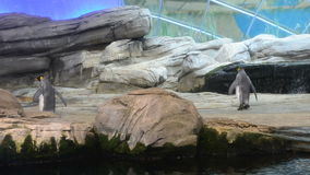 Two emperor penguins at a zoo walking in their habitat stock video footage