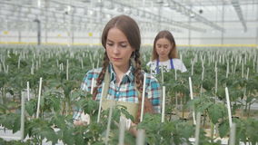 Two employees tie green plants in greenhouse on hydroponics indoors. stock video footage