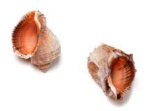 Two empty shells from rapana venosa Stock Image