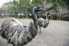 Two emu birds, flightless type. Two flightless emu birds with forest backdrop Stock Image