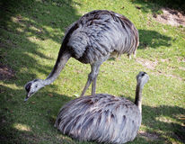 Two emu birds on the grass (Dromaius novaehollandiae) Stock Image