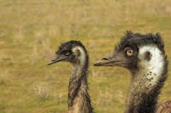 Two emus Stock Images