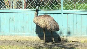 Two emus go before the camera stock video footage