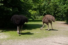 Two emus standing on the ground and pecking some grass. Photographed in close up and with a natural background stock photo