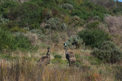 Two emus in wild Australian bush land. Wild bushlands in the Coorong National park, South Australia. Two emus standin between bushes Stock Images