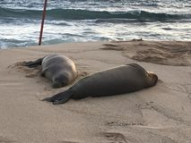 Hawaiian Monk Seals Rest on the Beach. Two endangered Hawaiian monk seals takes a rest on the beach in Kauai at dusk royalty free stock image