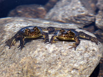 Two endangered mountain yellow legged frogs. In the sierra nevada mountains.  Photographed on the John Muir Trail Royalty Free Stock Photography