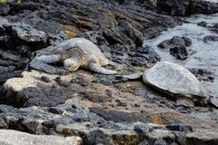 Two endangered sea turtles sleeping on a rocky tropical shoreline. Two endangered sea turtles resting on a rocky tropical lava shoreline in Hawaii royalty free stock photos