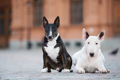 Two english bull terrier dogs posing outdoors together. Two english bull terrier dogs outdoors Royalty Free Stock Image