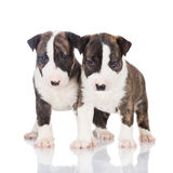 Two english bull terrier puppies Stock Photo