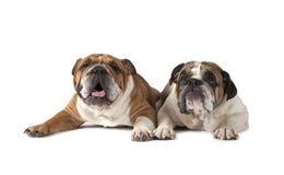 Two English Bulldog lying on white background Stock Image