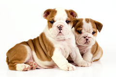 Two English bulldog puppies. Stock Images