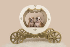 Two english bulldog puppies in a carriage on a sand colored background. Two english bulldog puppies in a wooden princess carriage on a sand colored background Royalty Free Stock Images