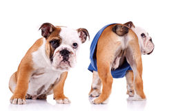 Two english bulldog puppies are looking at something Royalty Free Stock Image