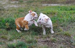 Two english bulldog puppies playing on the lawn royalty free stock images