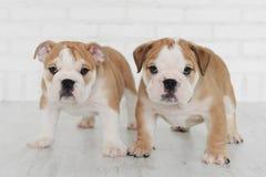 Two English bulldog puppy. Two cyte English bulldog puppy Stock Image