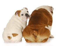 Two english bulldogs Royalty Free Stock Photos