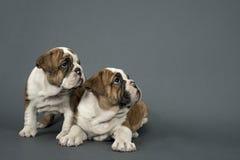 Two English Bulldogs Stock Photography