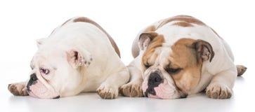 Two english bulldogs Royalty Free Stock Photo