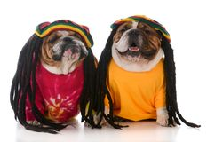 Two dogs with dreadlock Royalty Free Stock Image