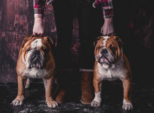 Two English bulldogs Royalty Free Stock Photography