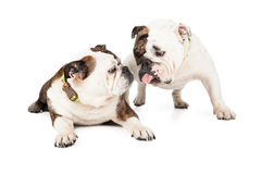 Two English Bulldogs Kissing Stock Photos