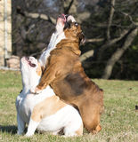 Two english bulldogs playing Stock Images