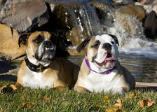 Two English Bulldogs posing by a waterfall. Two English Bulldogs lying in the grass, posing by the waterfall stock photo