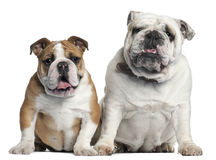Two English Bulldogs sitting royalty free stock images