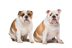 Two English Bulldogs Royalty Free Stock Photo