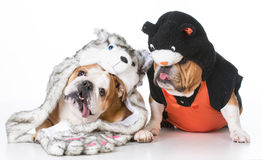 Two english bulldogs wearing cat and wolf costumes Royalty Free Stock Image