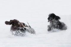 Two english cocker spaniel dog playing in snow winter Royalty Free Stock Photos