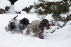 Two english cocker spaniel dog playing in snow winter Royalty Free Stock Photography
