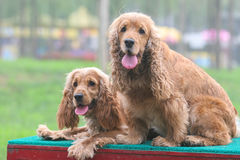 Two English Cocker Spaniel dogs Royalty Free Stock Photography
