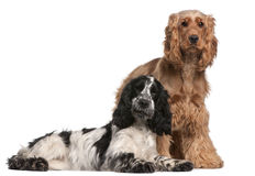 Two English Cocker Spaniels, 2 years old Royalty Free Stock Photography