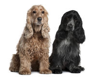Two English Cocker Spaniels, sitting. Two English Cocker Spaniels, 8 months and 1 year old, sitting in front of white background Royalty Free Stock Photography