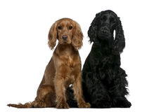 Two English Cocker Spaniels sitting. Two English Cocker Spaniels, 10 months and 6 months old, sitting in front of white background Stock Image