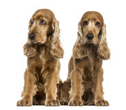 Two English Cocker Spaniels Stock Images