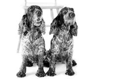 Two English Cocker Spaniels white background Royalty Free Stock Photography