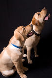 Two English Labrador retrievers Royalty Free Stock Photography