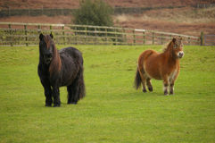 Two English Pony S In A Field Royalty Free Stock Photography