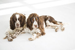 Two English Springer Spaniels Royalty Free Stock Photography